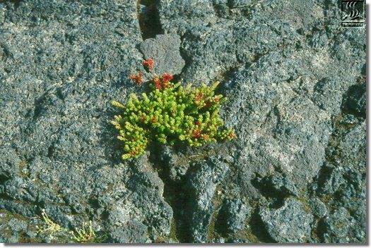 Crowberry (Empetrum nigrum) in a lava crack, first found on Surtsey in 1993. (Photo: Borgþór Magnússon, 2001)
