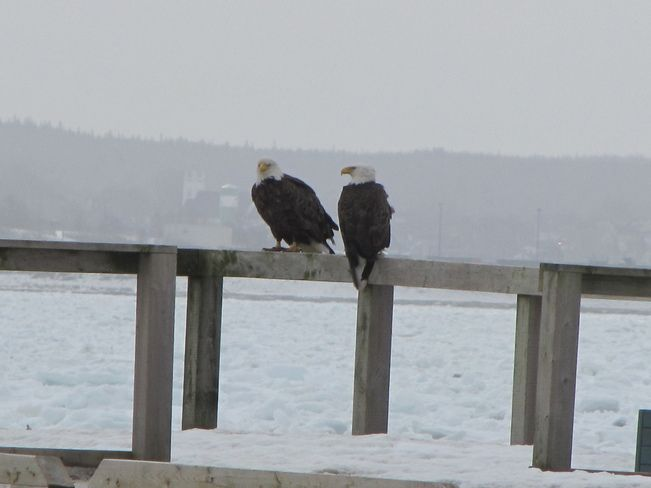 Eagles Watching over Indian Beach in North Sydney