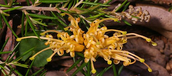 Grevillea juniperina 'Molonglo' -- an Australian Native Plant. Plants belonging to the genus Grevillea have become widely popular in gardens both in Australia and overseas. However, only relatively few of the many species are in general cultivation.