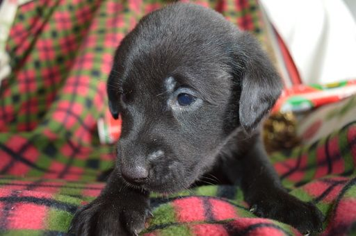 Litter of 8 Labrador Retriever puppies for sale in MARION, IN. ADN-52450 on PuppyFinder.com Gender: Male. Age: 4 Weeks Old
