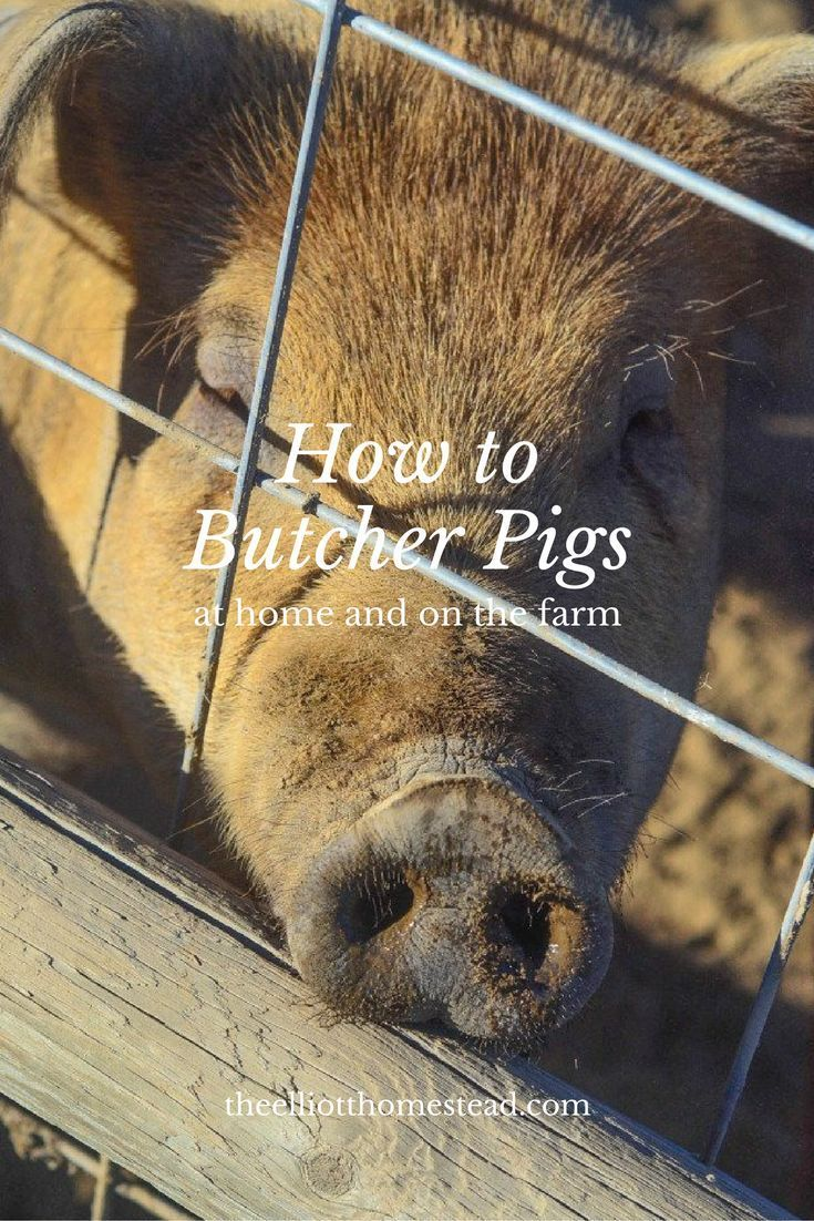 221 best raising pigs images on pinterest pigs raising and farms