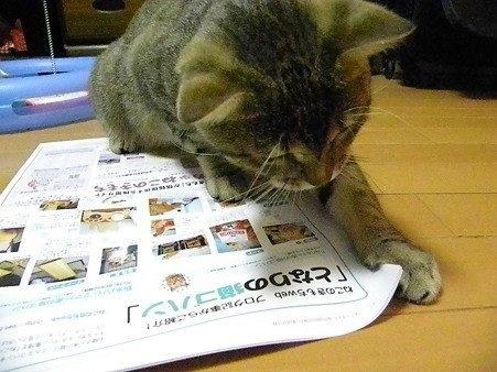 Image Share  新聞を読む猫