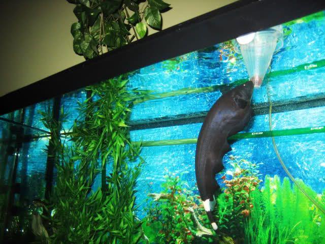 Black Ghost Knifefish Apteronotus Albifrons Knifefish