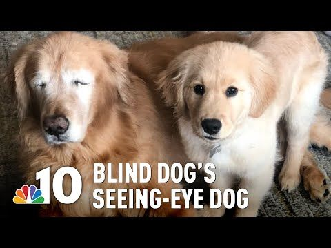 Video Blind Golden Retriever Gets His Own Seeing Eye Puppy Dogs