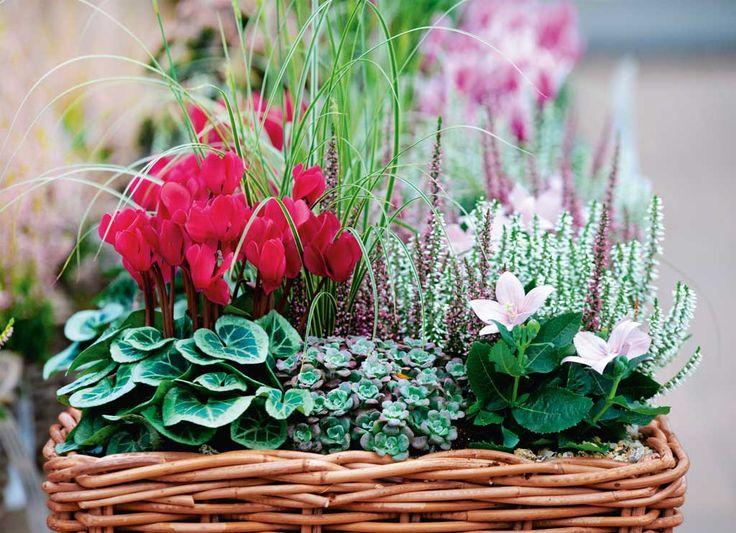 I ciclamini sono protagonisti di questa composizione floreale autunnale