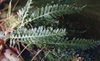 PTEROPHYTA—Seedless vascular plants