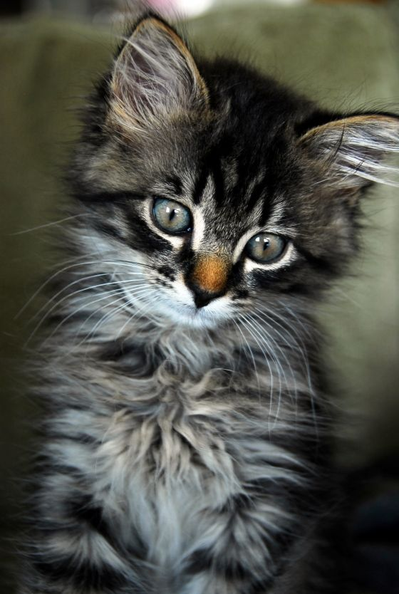 <3 Kittens: Brown Nose, Cats, Kitty Cat, Pet, Maine Coon, Baby Animal, Kittens, Crazy Cat Lady, Baby Cat