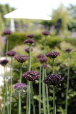 Allium atropurpureum  ornamental onion
