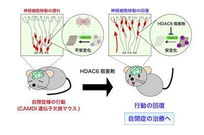 自閉症の根本治療にマウスで成功 - 東京薬科大   マイナビニュース