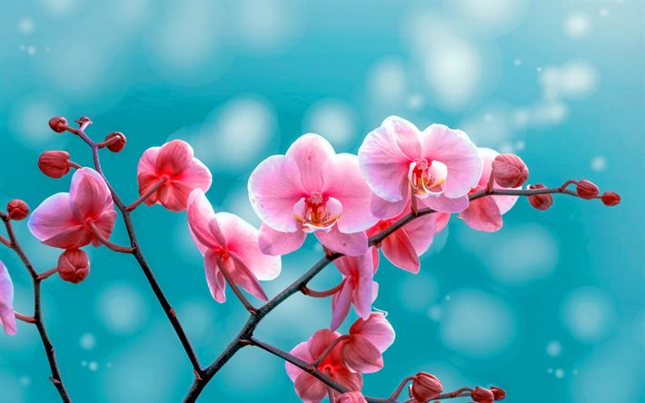 Download wallpapers pink orchids, tropical flowers, orchids branch, pink flowers, orchids