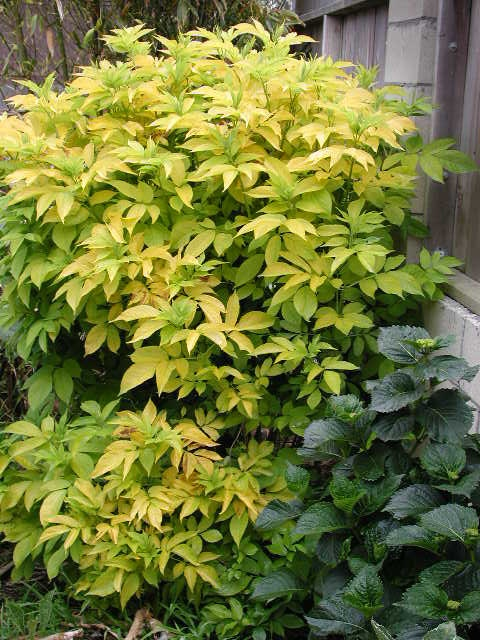 Sambucus nigra 'Aurea' (Chartreuse Black Elder) -A fantastic Elderberry with bright gold foliage! A fast growing, large, deciduous shrub growing 8-15 feet tall with purple-red stems and brilliant gold foliage that matures to chartreuse-green.
