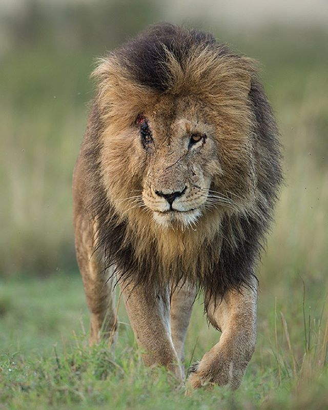maratriangle  scarface is an iconic male lion and he just