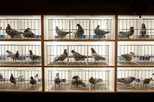 Racing pigeons for sale at the show