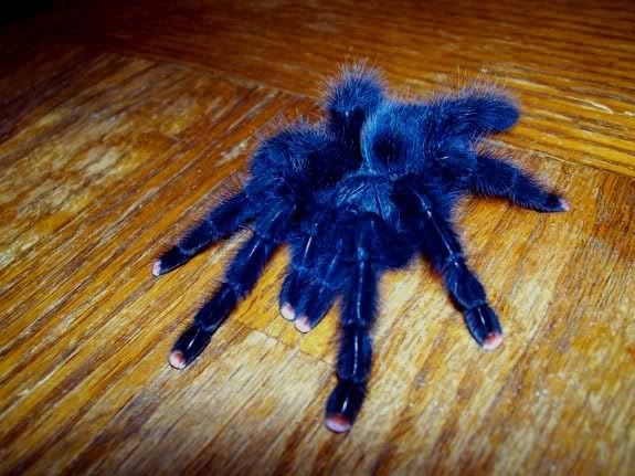 93 Best Tarantulas Images On Pinterest