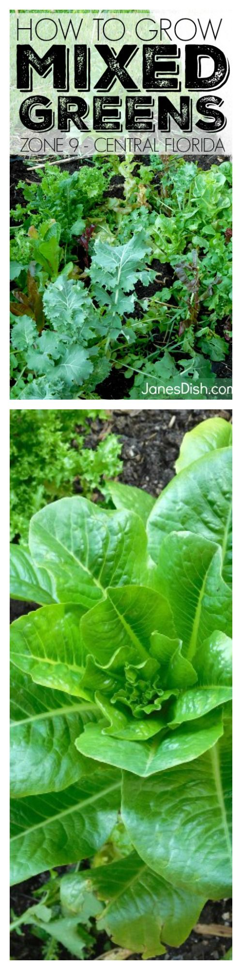 Beginner how-to guide for growing mixed greens in Zone 9!   http://www.janesdish.com/growing-mixed-greens-central-florida-zone-9/