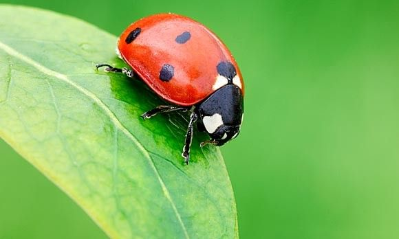 GOOD BUG: the Ladybug. They eat aphids, garden mites and the eggs of other insects. (© Martin Ruegner/Corbis): Bugs Gardens, Eating Aphid, The Face, Gardens Friends, Gardens Mites, Bugs Friends, Dots, Lady Bugs, American Ladybugs