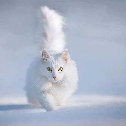 White Cat In Snow