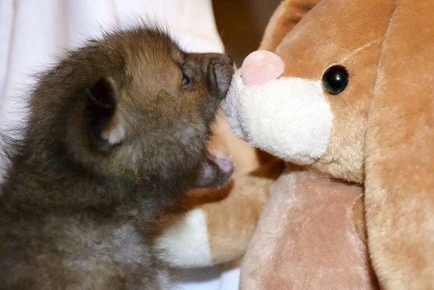 Martin Hemmington, l'assistant vétérinaire qui s'occupe de Puggle, a déclaré que le petit renard emportait son lapin en peluche chéri avec lui «absolument partout».