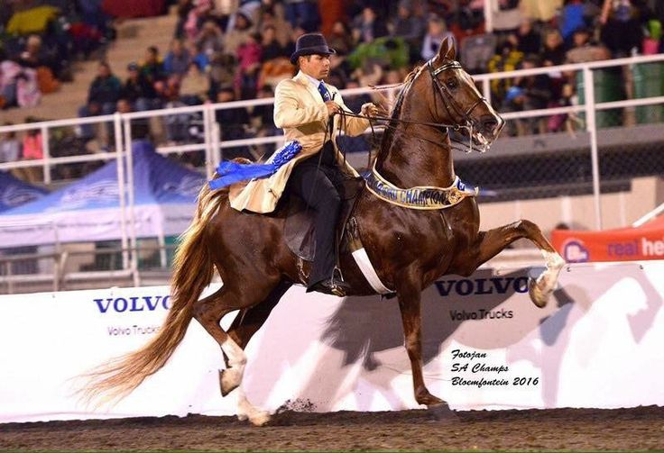 "Saddle Horses SA on Twitter: ""2016 SA Grand Champion Park Horse – ""AL2 Dancing Nite"" - shown by Junior Hugo. (Photo Fotojan Photography) https://t.co/cyahmJP4dh"""