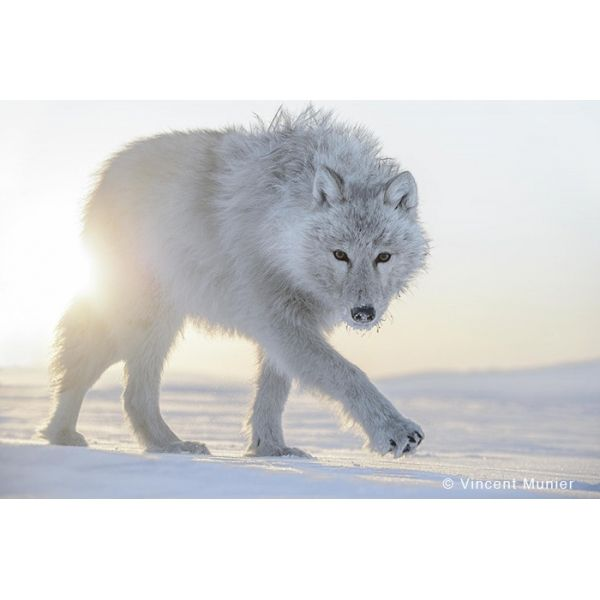 Galerie photo : VMAR98 Loup par Vincent Munier