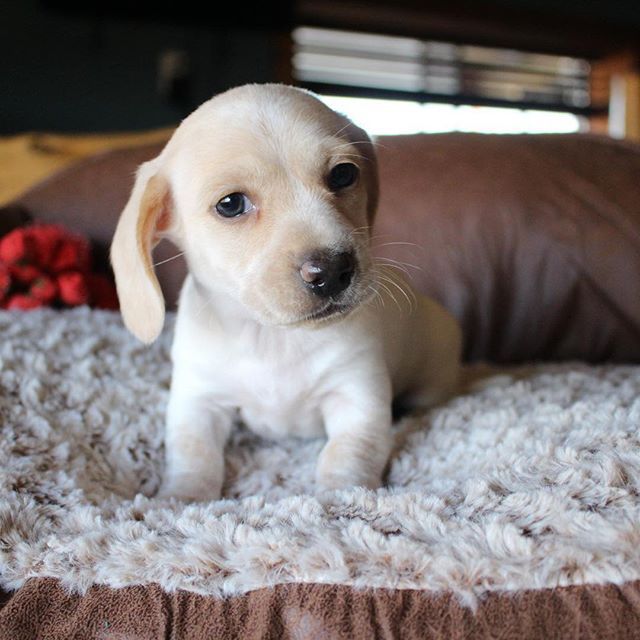 Akc Registered Miniature Dachshund Puppies For Sale In Texas Shipping Out Of State Available We Are A Small Family Breeder Who O Funny Dachshund Chiweenie Puppies Dachshund Puppies