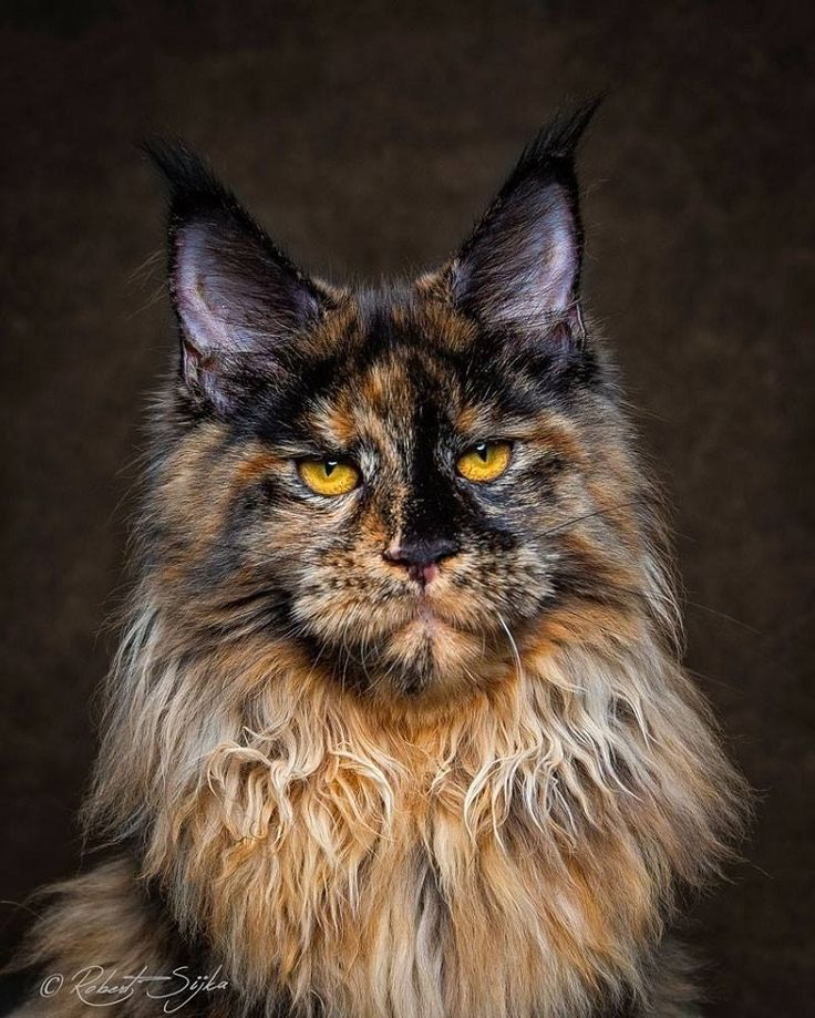"""Fifty shades of brown""  Photo by Robert Sijka  #bigcats #maine coon #domestic #cat #büyük #kediler"