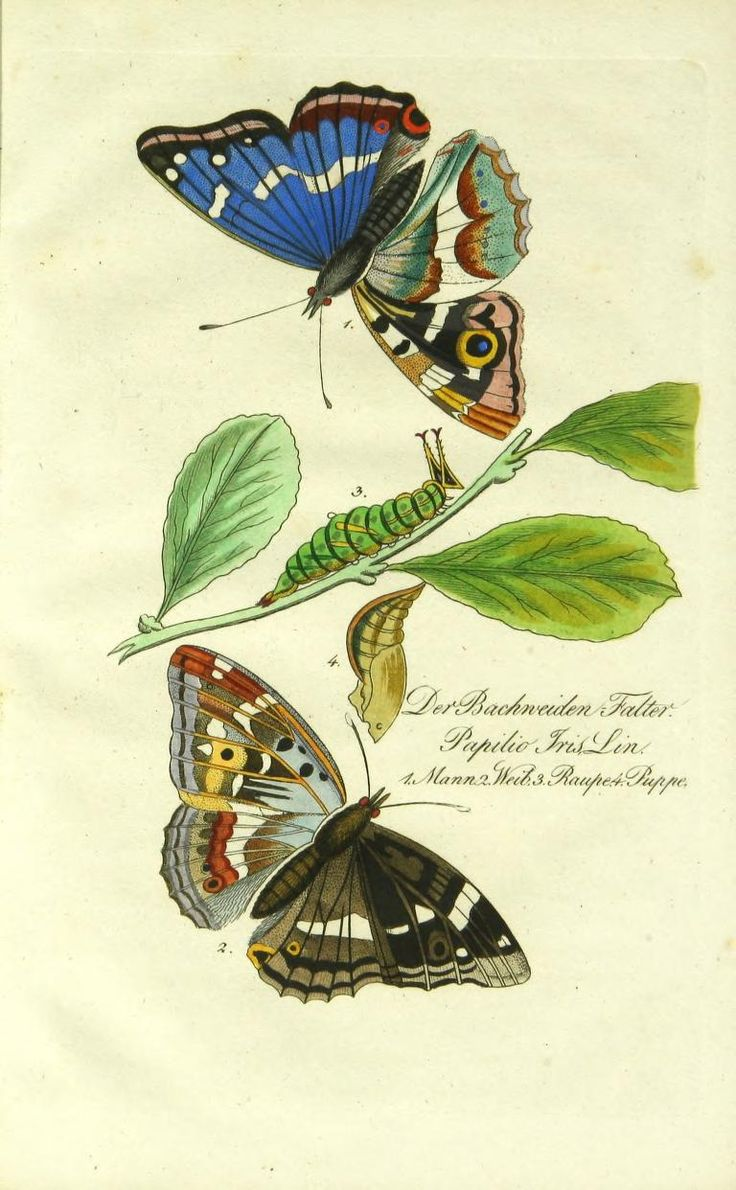heaveninawildflower:  Illustration taken from 'Abbildung und Beschreibung der Bekanntesten Schmetterlinge.' Published 1838 by Bauer & Raspe.Cornell University Libraryarchive.org