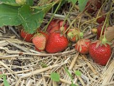 Learn how to winterize strawberry plants, including tips for dealing with plants in containers and pyramids, from experts at HGTV.