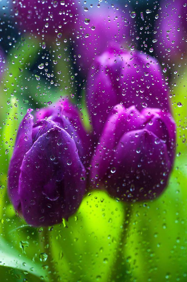 Rainy Tulips by Jenny Rainbow