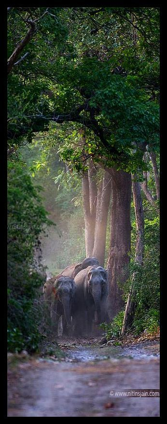 ♦♦♦ NEPAL ♦♦♦ A big group of elephants coming out of thick green canopy #by nitin jain #elephant elefant elefanten animal animals landscape nature amazing forest