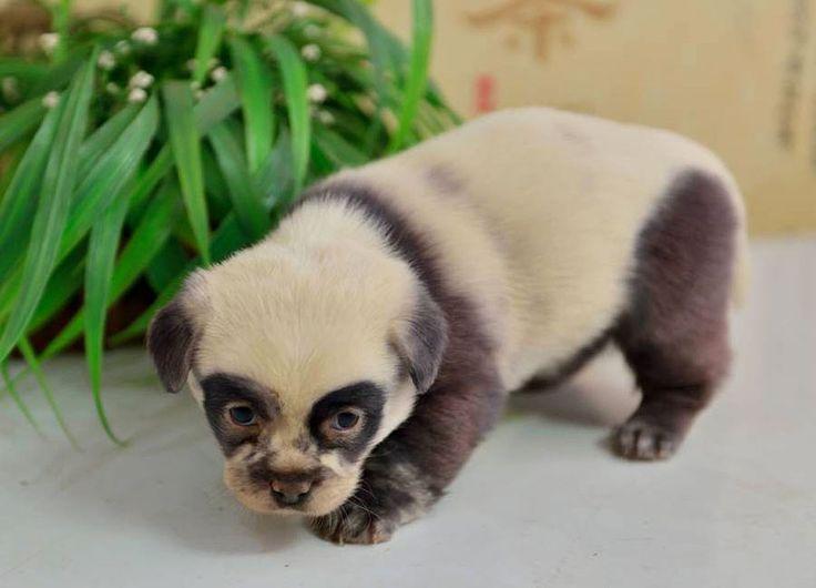 These Adorable Puppies Look Just Like Miniature Panda Cubs | Bored Panda