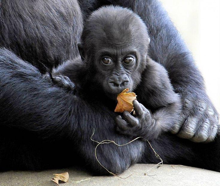 7-month Kibibi sitting on lap of his mother Mandara at the Smithsonian National Zoo in Washington, DC. Karen Bleier / AFP - Getty Images.