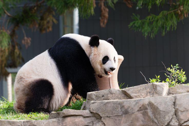 Giant panda gives birth, National Zoo says