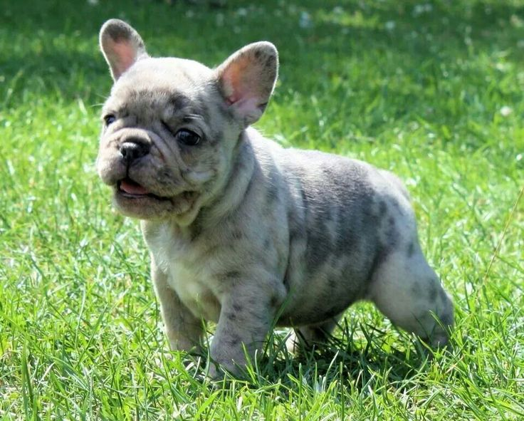 French Bulldog Breeder http://www.worldoffrenchies.com/french-bulldog-breeders/