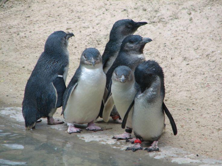 adelaide - penguins in Aus :s