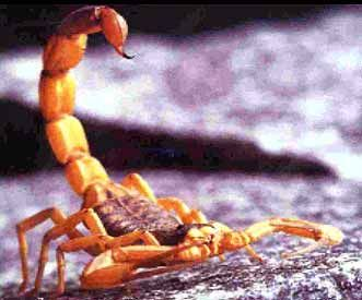 Escorpionídeos Nome científico:Tityus serrulatus Nome comum: escorpião amarelo  Mede cerca de até 7cm de comprimento. Apresenta o tronco escuro, patas, pedipalpos e cauda amarela sendo esta serrilhada no lado dorsal. Considerado o mais venenoso da América do Sul, é o escorpião causador de acidentes graves, principalmente no Estado de Minas Gerais.