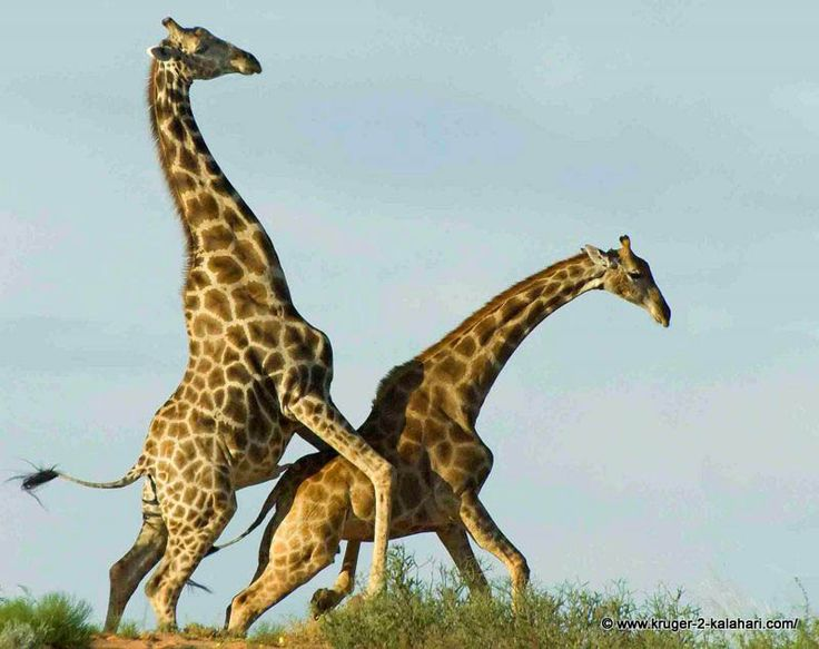 The Two Giraffe Were Mating On Top Of A Sand Dune Near -7605