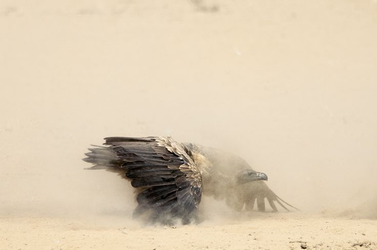 L'approche du vautour - National Geographic