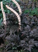 "#höst spira doft fjäril -- Höstsilverax -- Actaea r. 'James Compton'  -- Airy, architectural backdrop. Dark purplish-black foliage. Sept-Oct, sweetly fragrant, white flowers tinged pink sway in the wind above the masses of foliage. Though the young leaves tend to be green, by the second season they have deepened to a dark purple-black. 3' tall, this selection is similar to but shorter than 'Hillside Black Beauty'. Cimicifuga"" Moist soil."