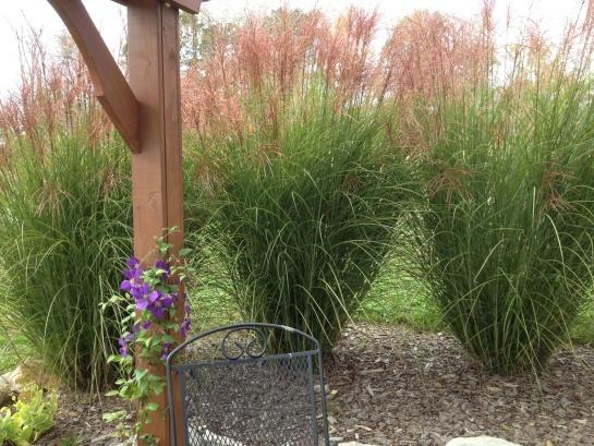 Dividing and transplanting ornamental grasses