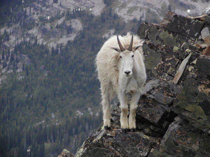 Горные козлы — животные, у которых напрочь отсутствует боязнь высоты
