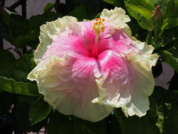 3785 best HIBISCUS images on Pinterest Hibiscus