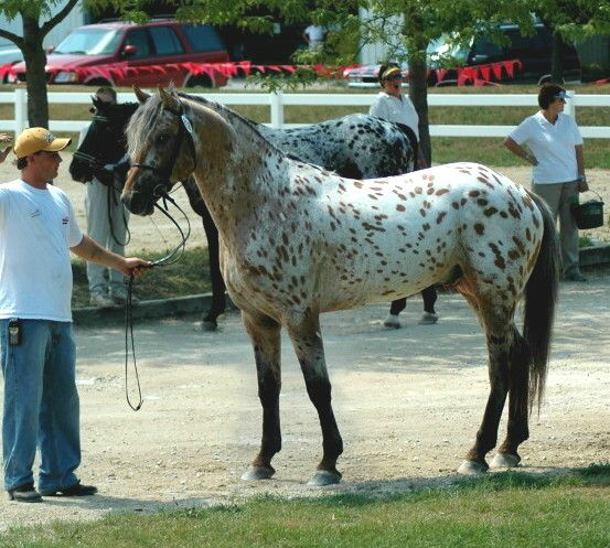 """certain horse breeds are designed to Warmblood - horse breed """"warmblood"""" for a certain kind of horse is a term that emerged in europe and was designed to define something between a hot blood."""