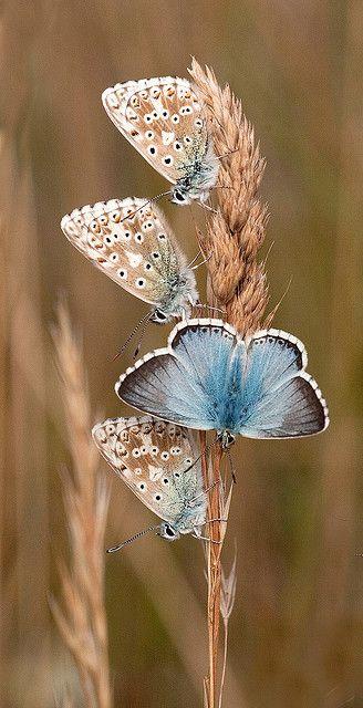 Chalkhill Blue Butterflies (Polyommatus coridon) Europe