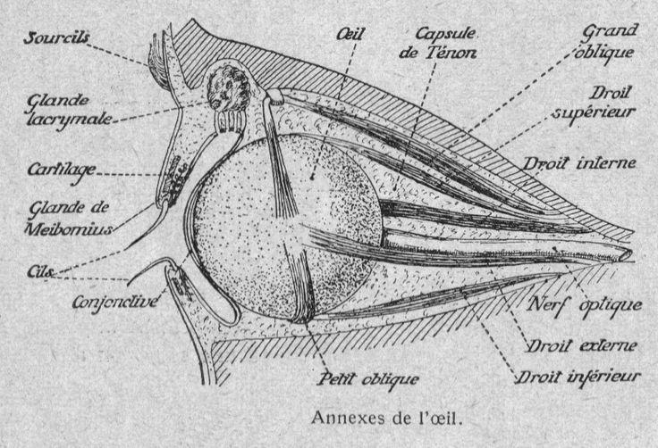 Dessins anatomie-physiologie : Image (121) - Structure des annexes de l oeil humain