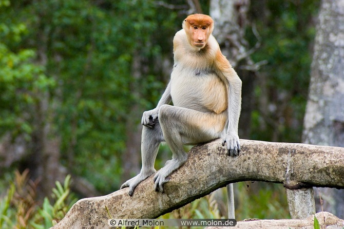 Proboscis monkeys are only found in the region of Borneo. Don't they look like humans??   If you wish to catch a glimpse of them : http://www.kinabaluholidayhome.com/kota-kinabalu-sabah-borneo-tour-packages-and-activities.html