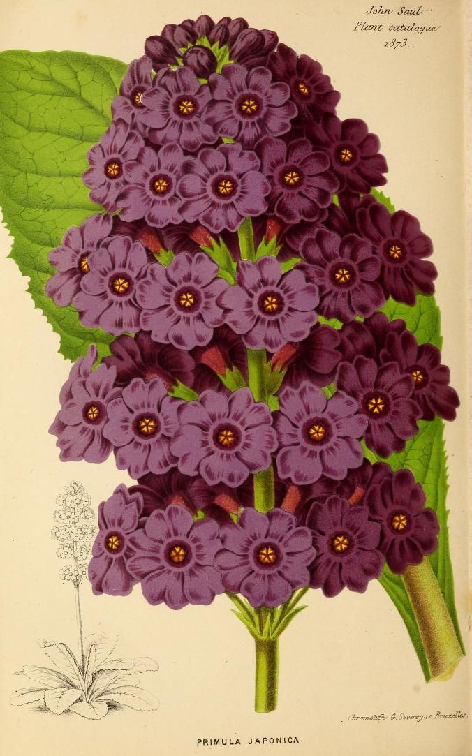 1873 - Descriptive catalogue of new, rare and beautiful plants, dahlias, chrysanthemums, geraniums, fuchsias, carnations, verbenas, phloxes, &c. for spring, 1873, cultivated and for sale by John Saul, nurseryman, seed grower and importer. - Biodiversity Heritage Library. #BHLinbloom
