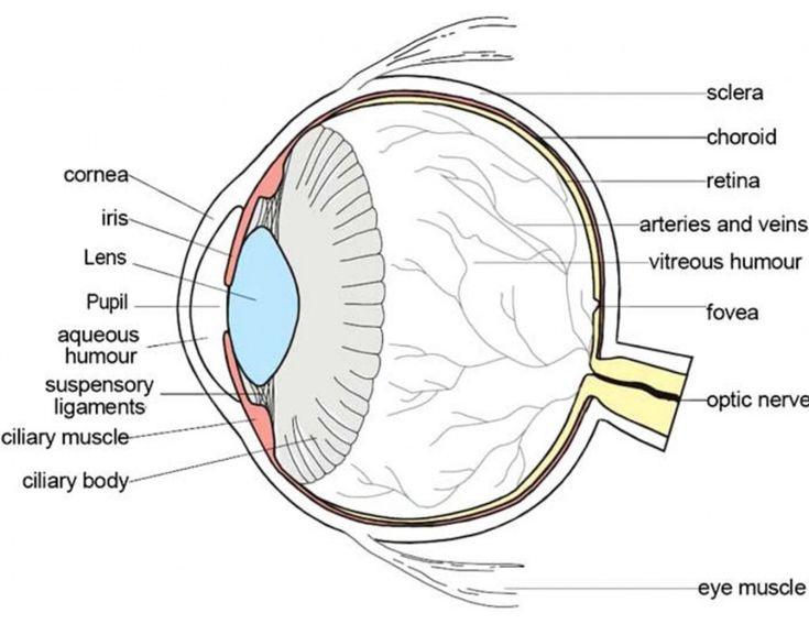 Labeled Diagram Of the Eye Awesome Parts Of the Eyes ...