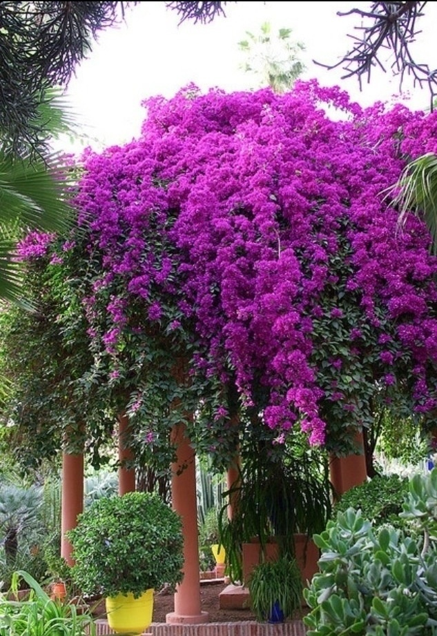 """I purchased a Bougainvillea for Joyce and this is not it. This is one in the Middle East. The purple is not flowers they are called """"BRACKETS"""" and are leaves. The tiny tiny yellow things are the actual flowers."""