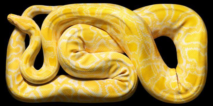 Albino Burmese Python by Tim Flach #albino #phyton #yellow #animal #photography